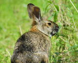 cottontail BRD6770.JPG