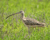 long-billed curlew BRD7642.JPG