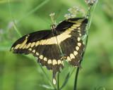 giant swallowtail BRD1326.JPG