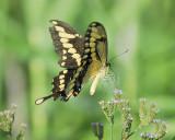 giant swallowtail BRD1318.JPG