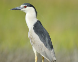 1070i_black_crowned_night_heron