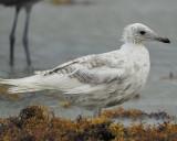 ring-billed gull BRD1527.JPG
