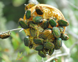 figeater beetle BRD2313.JPG