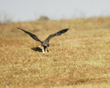 white-tailed hawk BRD4081.JPG