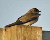 rough-winged swallow BRD4491.JPG
