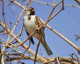 harris's sparrow BRD6520.JPG