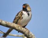 harris's sparrow BRD6518.JPG