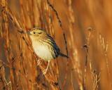 leconte's sparrow BRD6377.JPG
