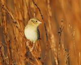 leconte's sparrow BRD6380.JPG