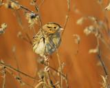 leconte's sparrow BRD6391.JPG