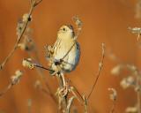 leconte's sparrow BRD6410.JPG