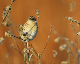 leconte's sparrow BRD6414.JPG