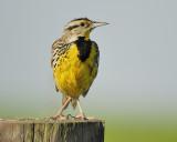 eastern meadowlark BRD7733.JPG
