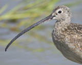 long-billed curlew BRD2544.JPG