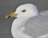 ring-billed gull BRD5122.JPG