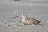long-billed curlew BRD5234.JPG