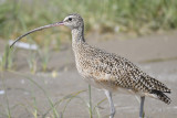 long-billed curlew BRD5724.JPG