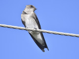 rough-winged swallow BRD9489.JPG