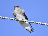 rough-winged swallow BRD9487.JPG