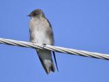 rough-winged swallow BRD9483.JPG