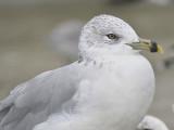 ring-billed gull BRD9080.JPG