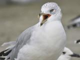 ring-billed gull BRD9084.JPG