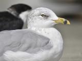 ring-billed gull BRD9096.JPG