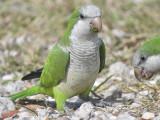 monk parakeet BRD9818.JPG
