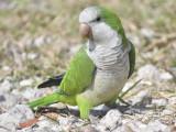 monk parakeet BRD9821.JPG