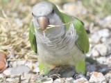 monk parakeet BRD9833.JPG