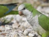 monk parakeet BRD9829.JPG
