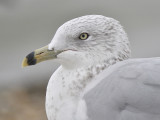 ring-billed gull BRD1411.JPG