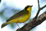 IMG_5705a Kentucky Warbler.jpg