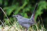 IMG_6136 Gray Catbird.jpg