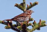 IMG_7013 Fox Sparrow .jpg