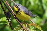 IMG_6580 Canada Warbler male.jpg
