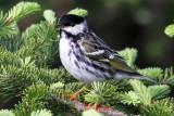 IMG_9203 Blackpoll Warbler.jpg