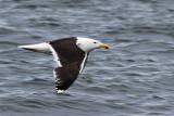 IMG_8337 Great Black-backed Gull.jpg