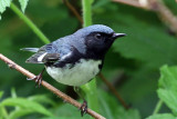 IMG_9697 Black-throated Blue Warbler male.jpg