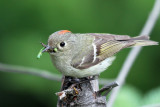 IMG_9779 Ruby-crowned Kinglet.jpg