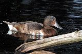IMG_0520 Baer's Pochard - male.jpg