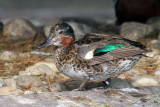 IMG_0686 Common Teal.jpg