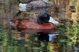 IMG_0540 Maccoa Duck.jpg