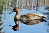 IMG_0580 Philippine Duck.jpg