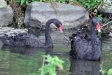 IMG_0790 Black Swan.jpg