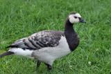 IMG_0911 Barnacle Goose.jpg