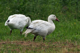 IMG_0815 Greater Snow Goose.jpg