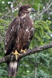 IMG_1932 Bald Eagle.jpg