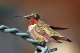 IMG_4314 Ruby-throated Hummingbird.jpg