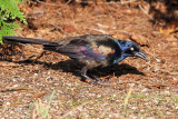 IMG_4215 Common Grackle - bronzed form.jpg